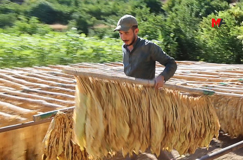 Tobacco Growers struggle to make ends meet