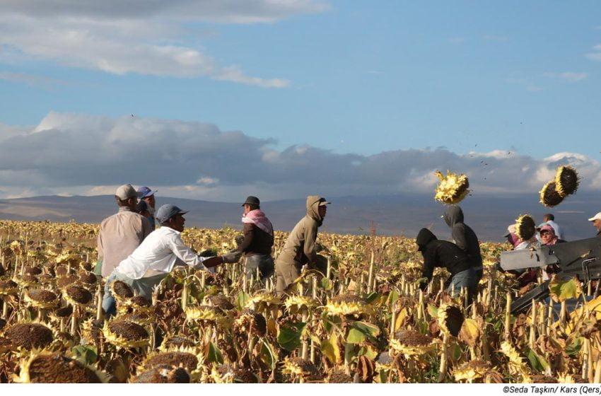 The sunflower harvest season in Kars (Qers) begins