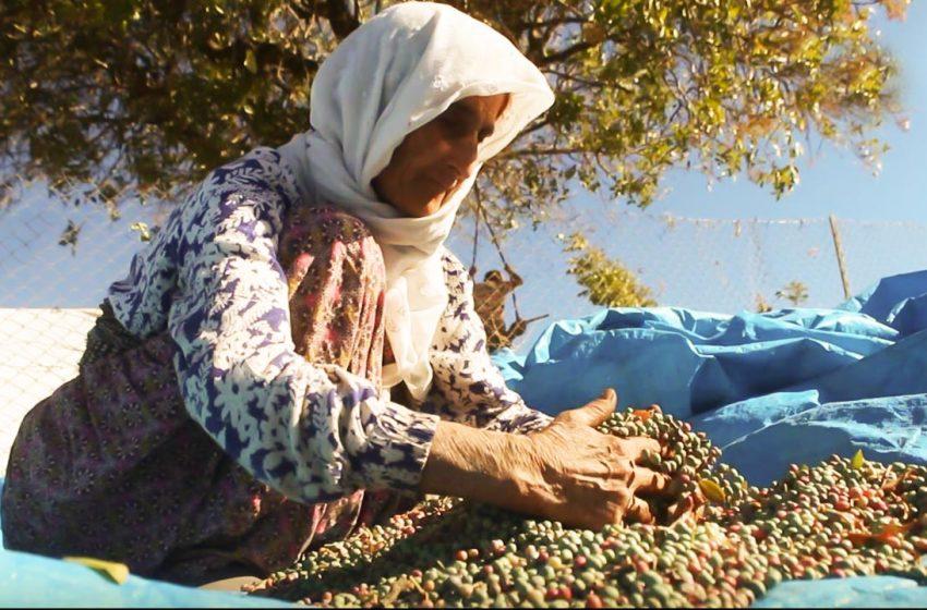 The Terebinth harvest has begun in Şırnak (Şirnex) in Turkey